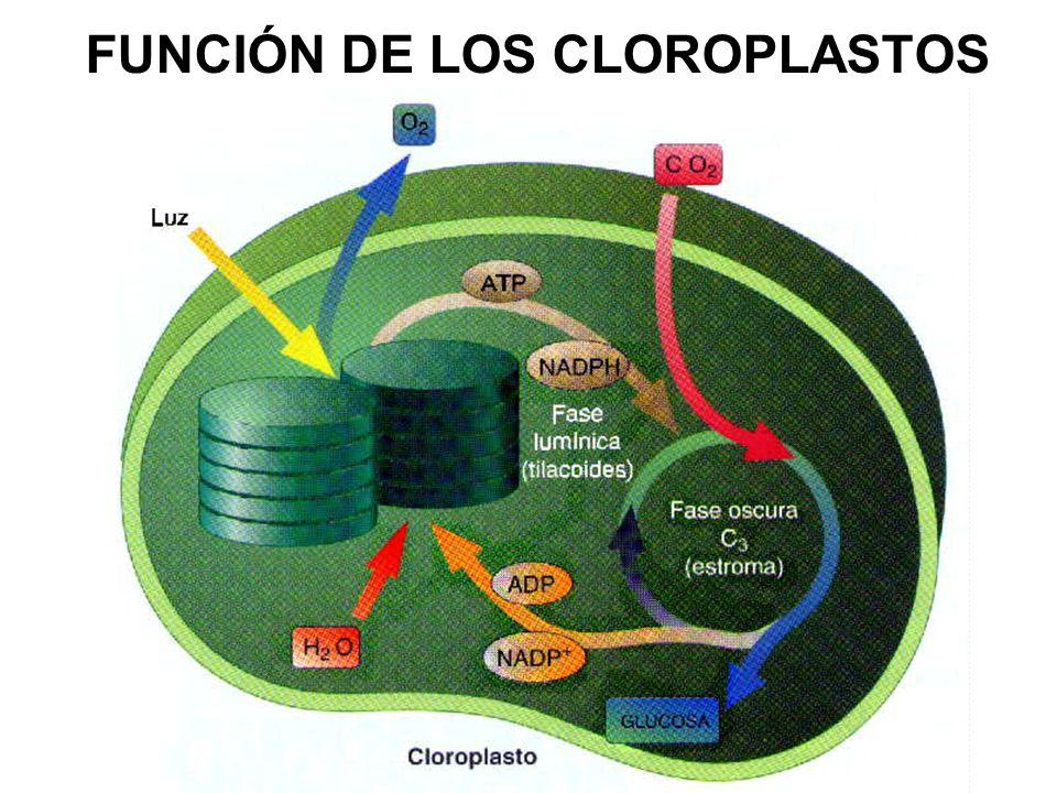 FUNCIÓN DE LOS CLOROPLASTOS