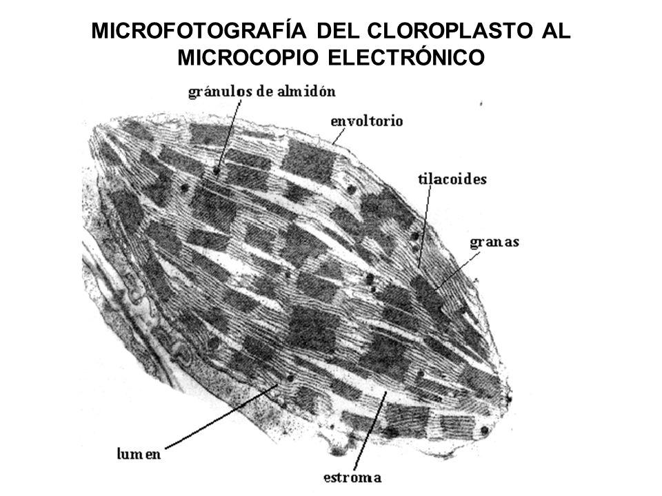 MICROFOTOGRAFÍA DEL CLOROPLASTO AL MICROCOPIO ELECTRÓNICO