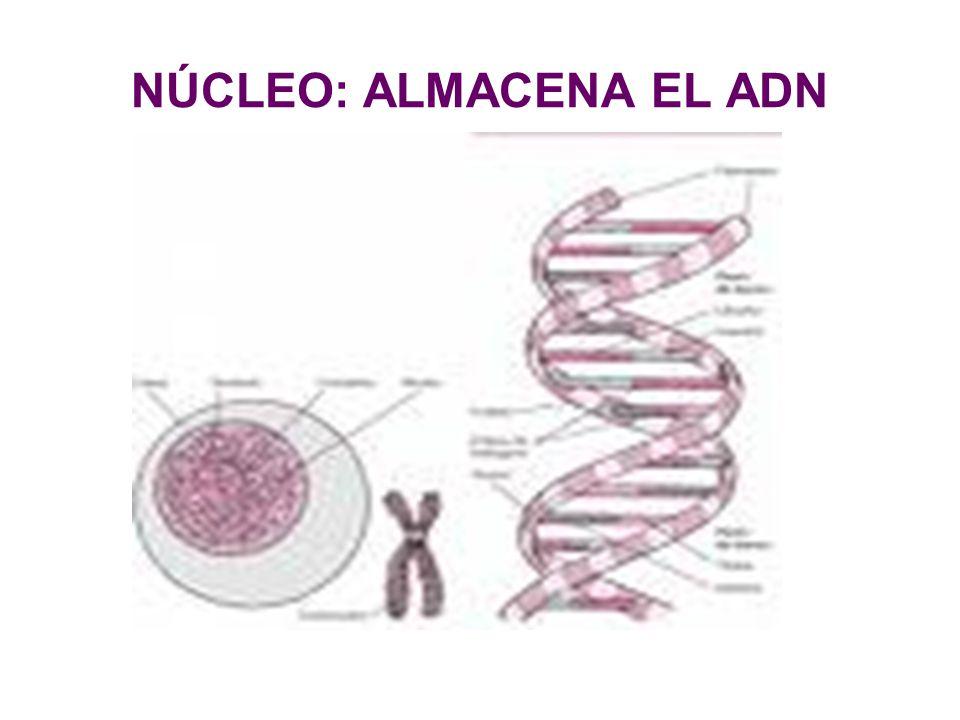NÚCLEO: ALMACENA EL ADN