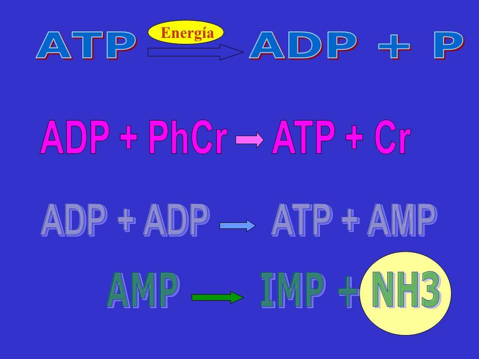 ADP + PhCr ATP + Cr AMP IMP + NH3 ADP + ADP ATP + AMP ATP ADP + P