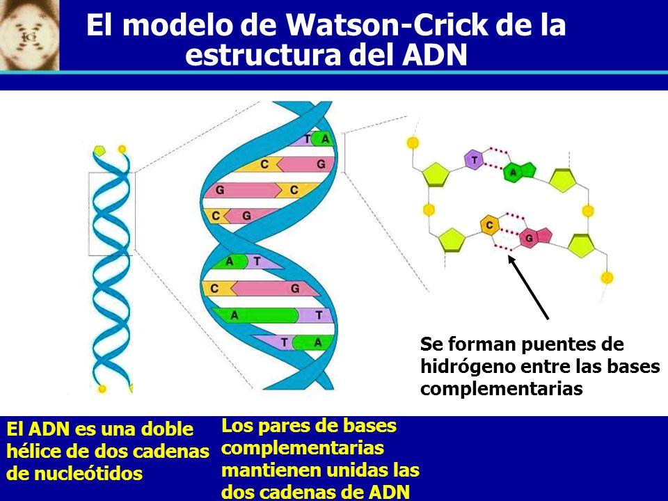 El modelo de Watson-Crick de la estructura del ADN