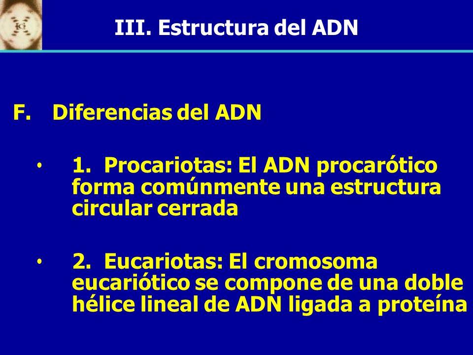 III. Estructura del ADN Diferencias del ADN. 1. Procariotas: El ADN procarótico forma comúnmente una estructura circular cerrada.