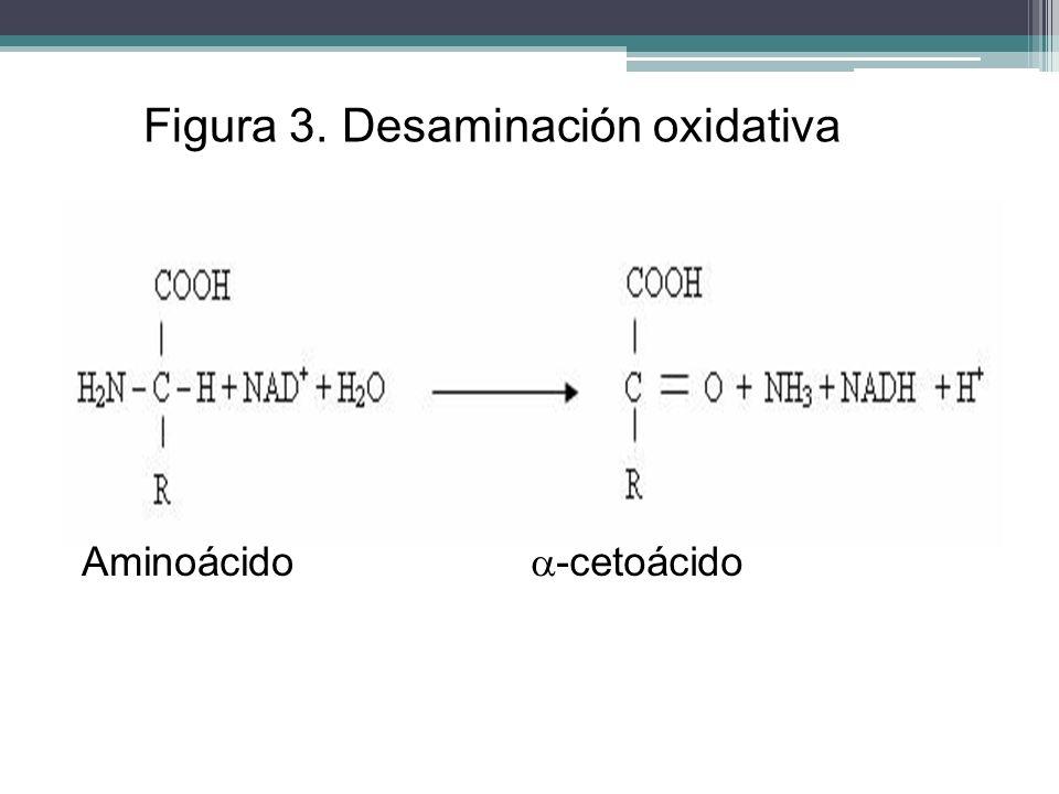 Figura 3. Desaminación oxidativa