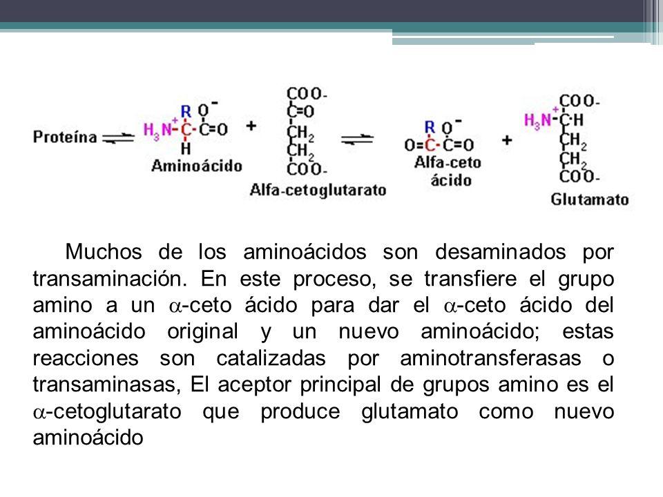 Muchos de los aminoácidos son desaminados por transaminación