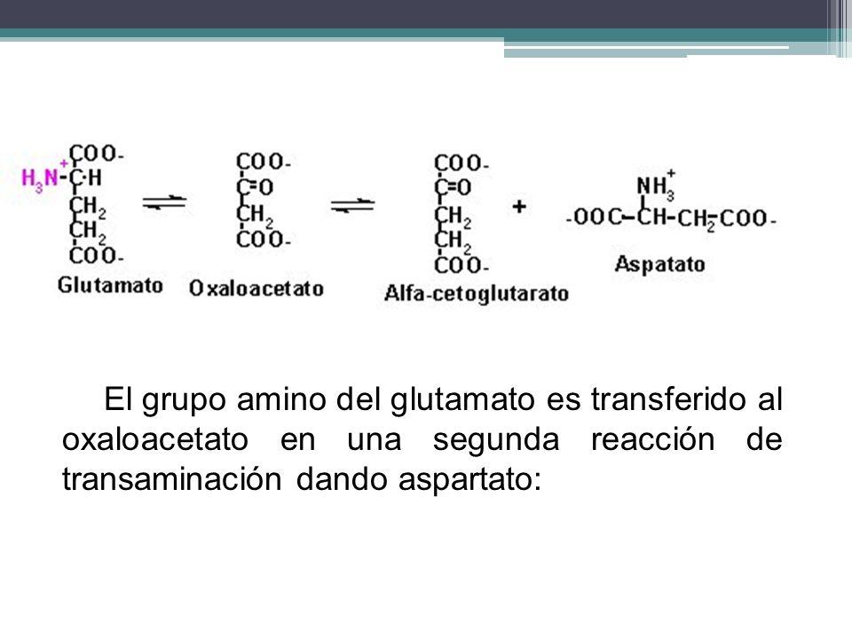 El grupo amino del glutamato es transferido al oxaloacetato en una segunda reacción de transaminación dando aspartato: