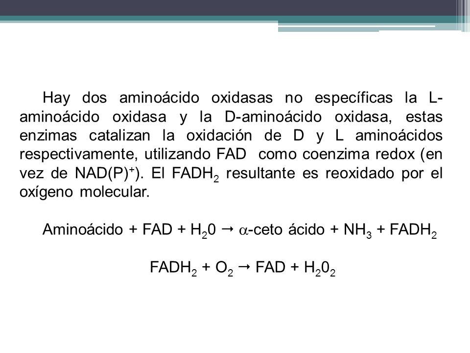 Hay dos aminoácido oxidasas no específicas la L-aminoácido oxidasa y la D-aminoácido oxidasa, estas enzimas catalizan la oxidación de D y L aminoácidos respectivamente, utilizando FAD como coenzima redox (en vez de NAD(P)+). El FADH2 resultante es reoxidado por el oxígeno molecular.