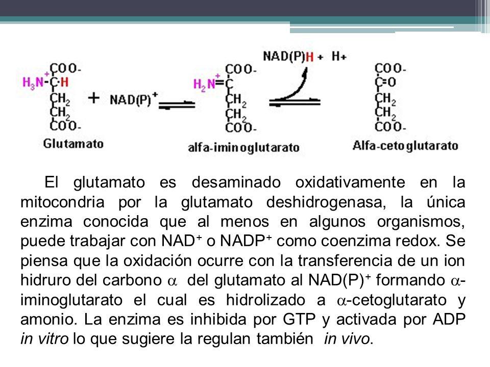 El glutamato es desaminado oxidativamente en la mitocondria por la glutamato deshidrogenasa, la única enzima conocida que al menos en algunos organismos, puede trabajar con NAD+ o NADP+ como coenzima redox.