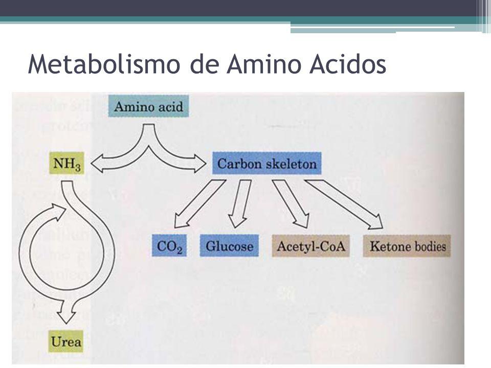 Metabolismo de Amino Acidos