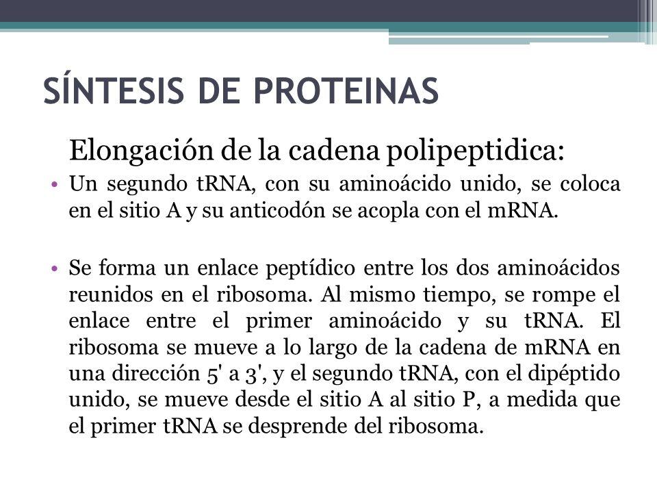 SÍNTESIS DE PROTEINAS Elongación de la cadena polipeptidica:
