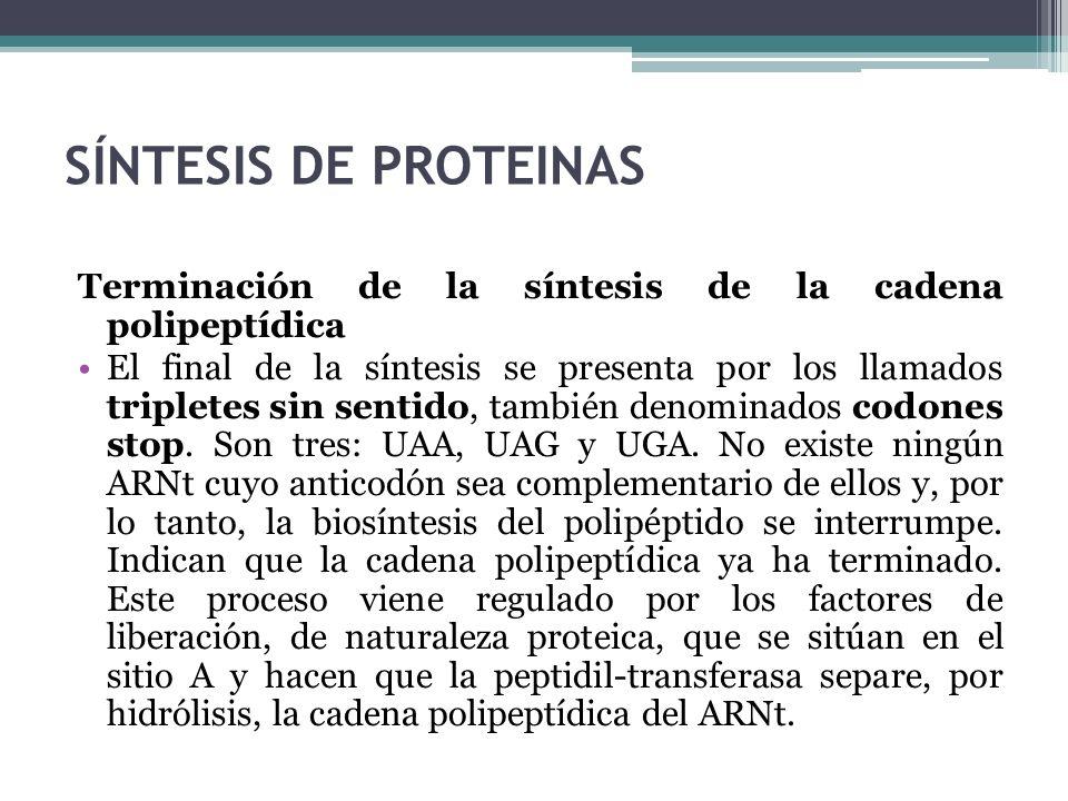 SÍNTESIS DE PROTEINAS Terminación de la síntesis de la cadena polipeptídica.