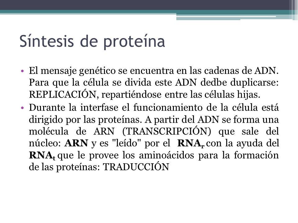 Síntesis de proteína