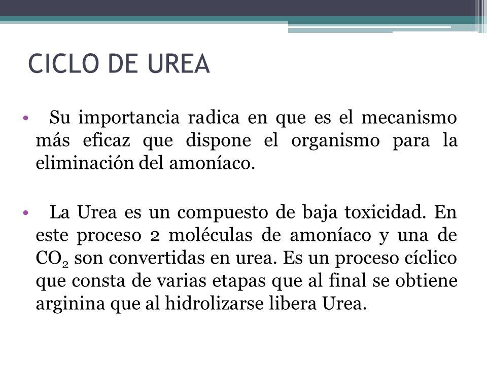 CICLO DE UREA Su importancia radica en que es el mecanismo más eficaz que dispone el organismo para la eliminación del amoníaco.