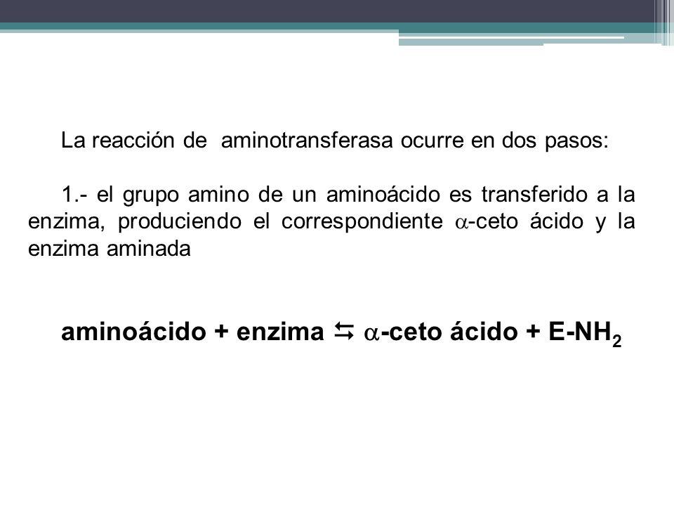 aminoácido + enzima  -ceto ácido + E-NH2