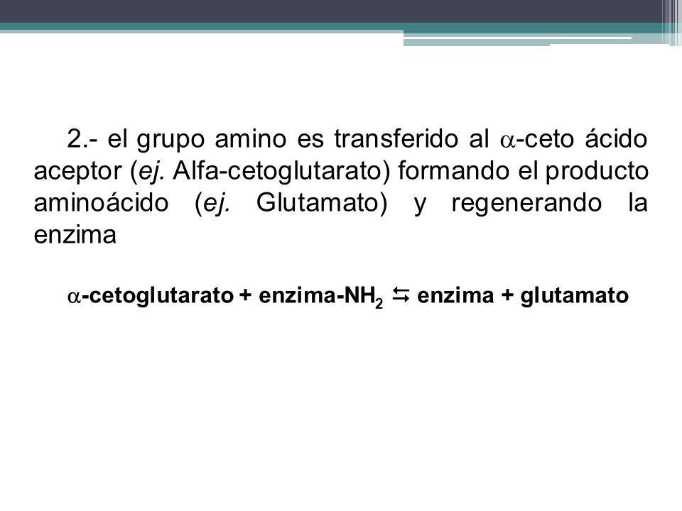 2. - el grupo amino es transferido al -ceto ácido aceptor (ej