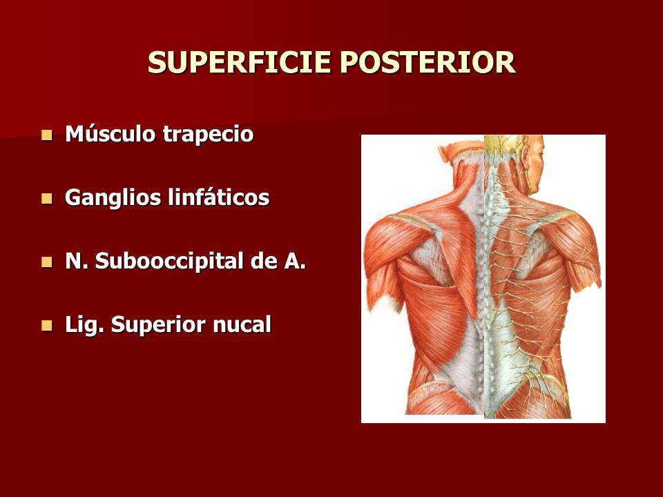 SUPERFICIE POSTERIOR Músculo trapecio Ganglios linfáticos