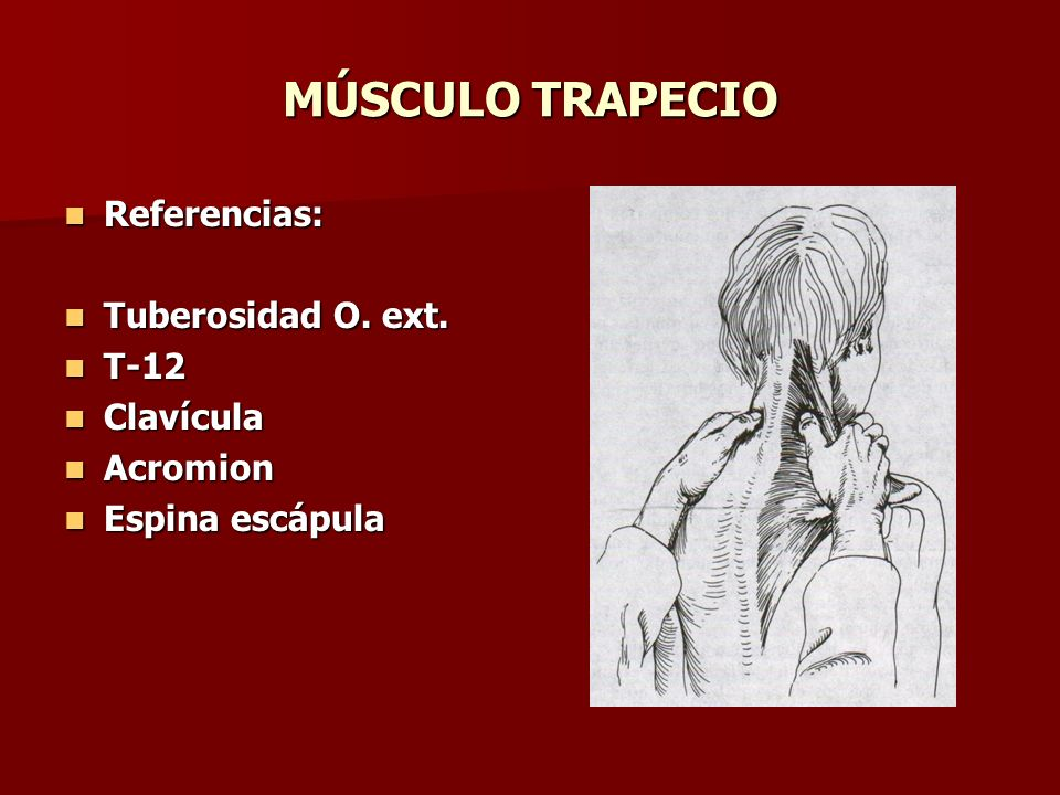MÚSCULO TRAPECIO Referencias: Tuberosidad O. ext. T-12 Clavícula