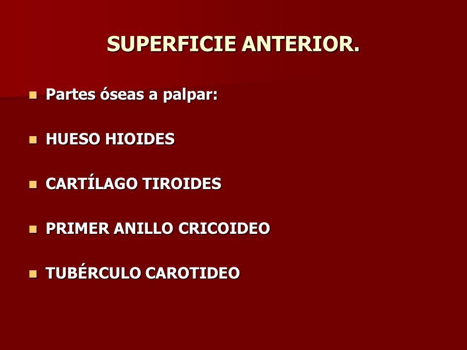 SUPERFICIE ANTERIOR. Partes óseas a palpar: HUESO HIOIDES