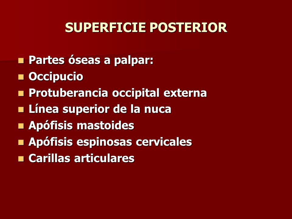 SUPERFICIE POSTERIOR Partes óseas a palpar: Occipucio