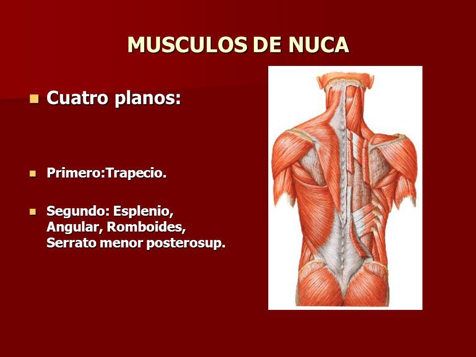 MUSCULOS DE NUCA Cuatro planos: Primero:Trapecio.