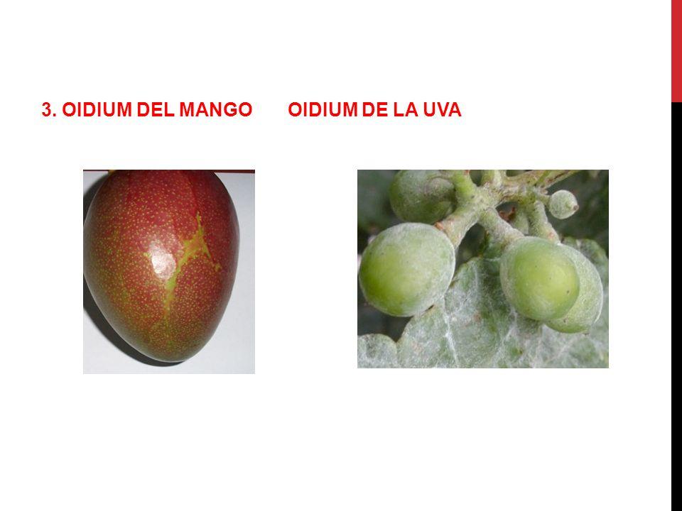 3. OIDIUM DEL MANGO OIDIUM DE LA UVA