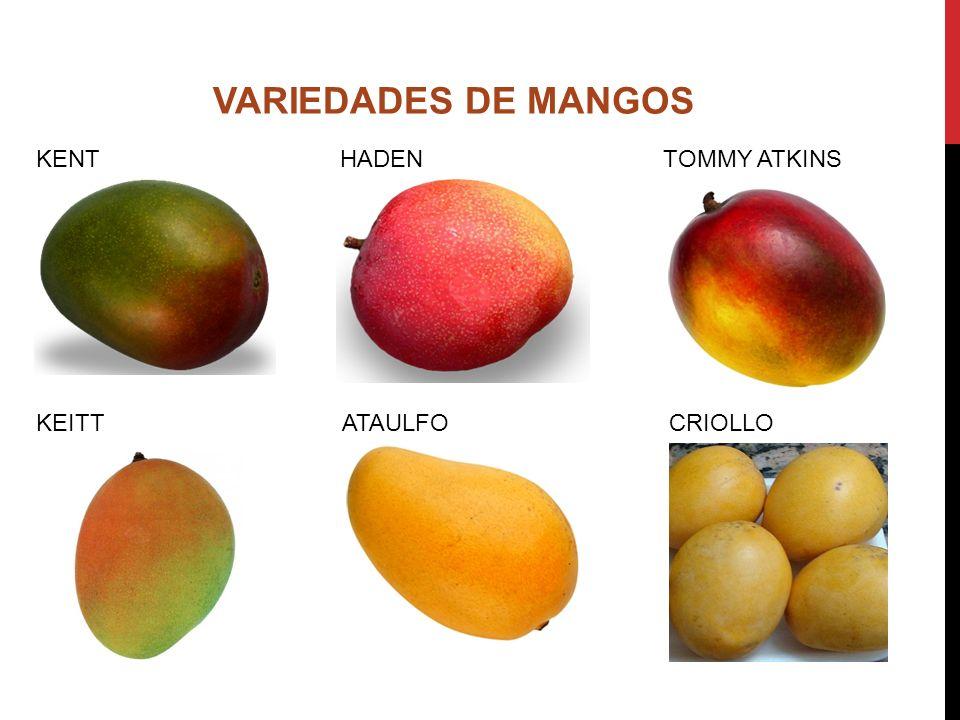 VARIEDADES DE MANGOS KENT HADEN TOMMY ATKINS.
