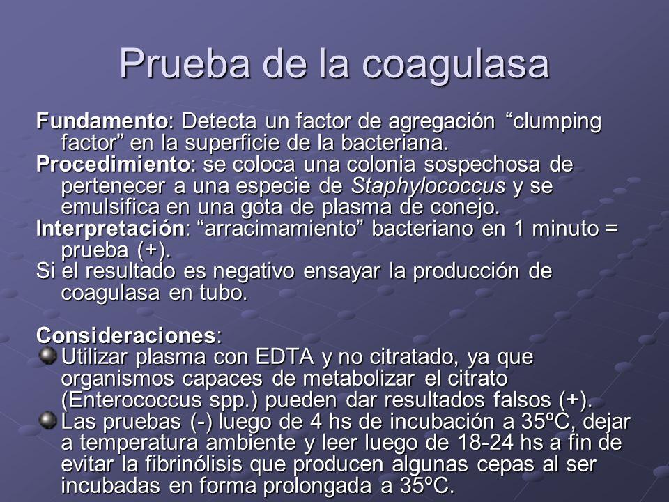 Prueba de la coagulasa Fundamento: Detecta un factor de agregación clumping factor en la superficie de la bacteriana.