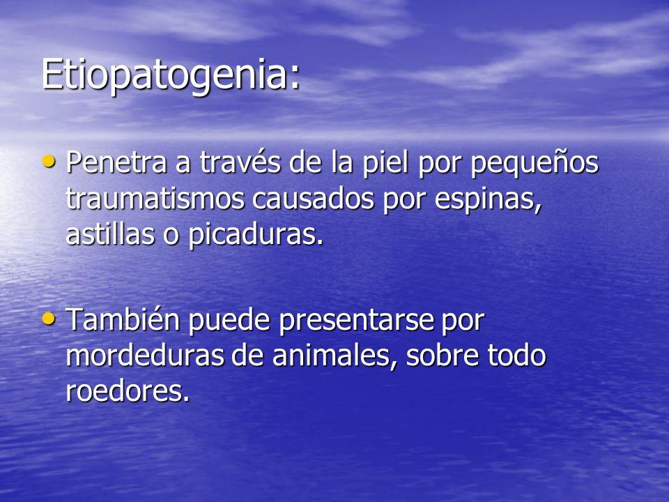 Etiopatogenia:Penetra a través de la piel por pequeños traumatismos causados por espinas, astillas o picaduras.