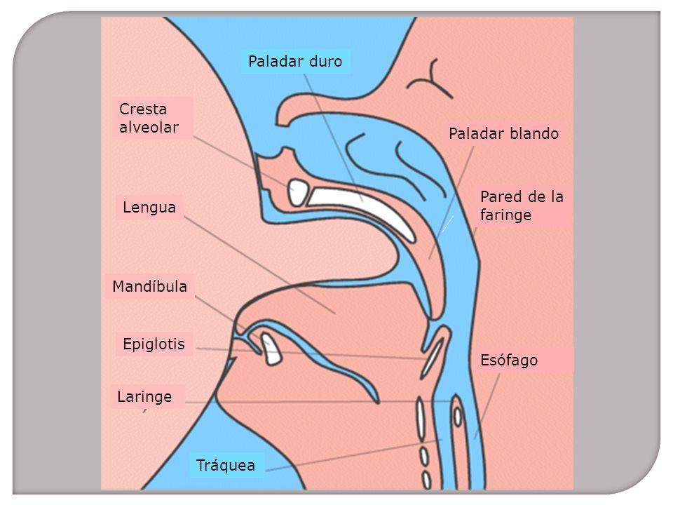 Paladar duro Cresta. alveolar. Paladar blando. Pared de la. faringe. Lengua. Mandíbula. Epiglotis.