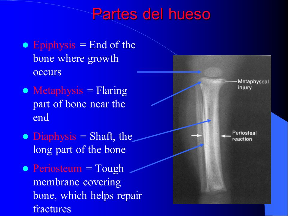 Partes del hueso Epiphysis = End of the bone where growth occurs