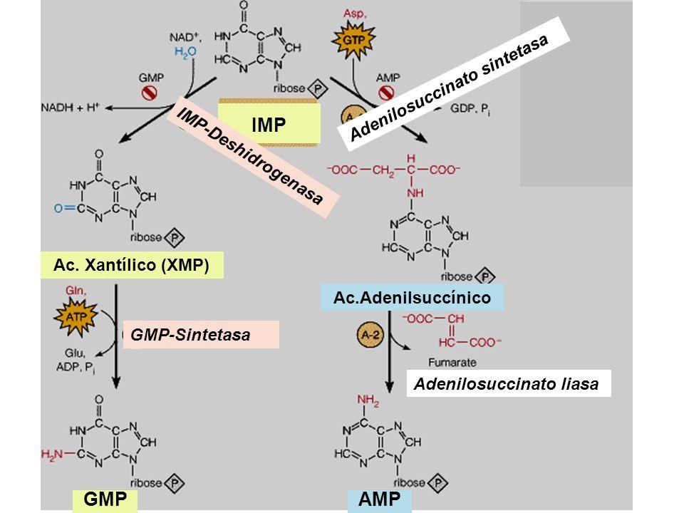 IMP GMP AMP Adenilosuccinato sintetasa IMP-Deshidrogenasa