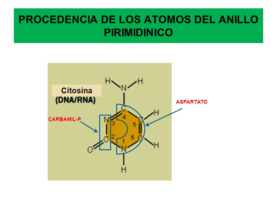 PROCEDENCIA DE LOS ATOMOS DEL ANILLO PIRIMIDINICO