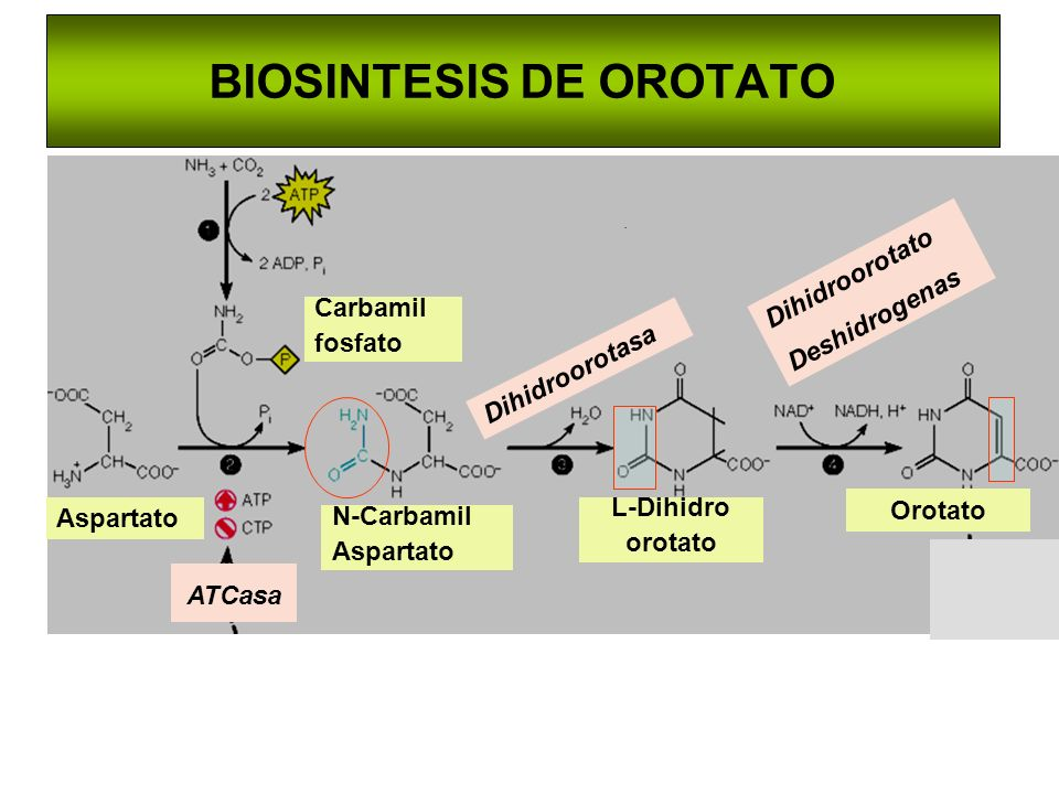 BIOSINTESIS DE OROTATO