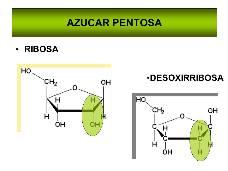 AZUCAR PENTOSA RIBOSA DESOXIRRIBOSA