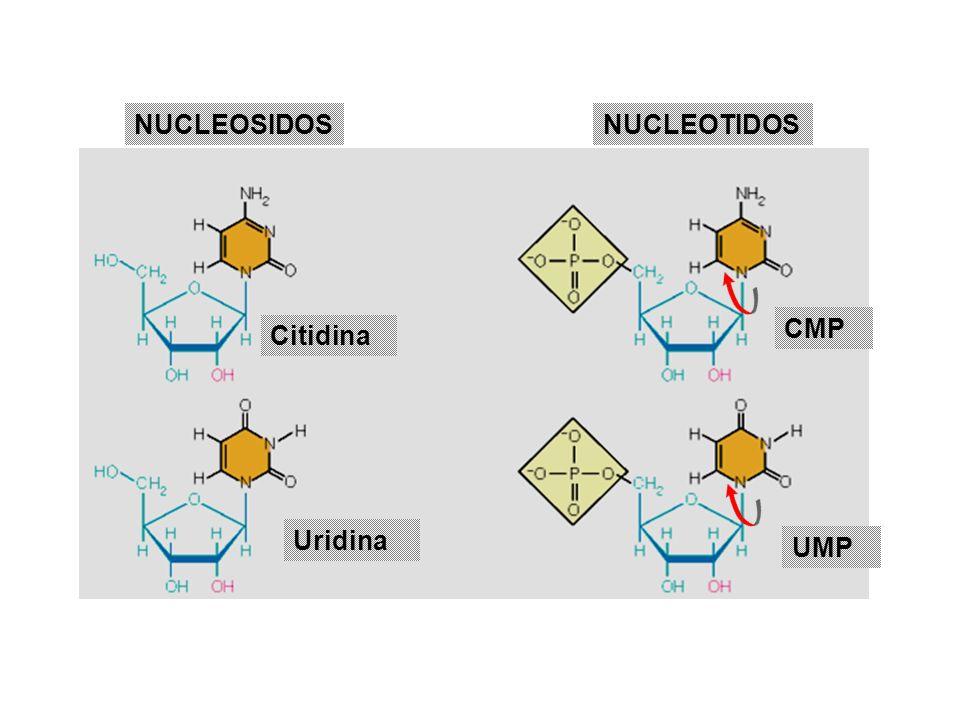 NUCLEOSIDOS NUCLEOTIDOS CMP Citidina Uridina UMP