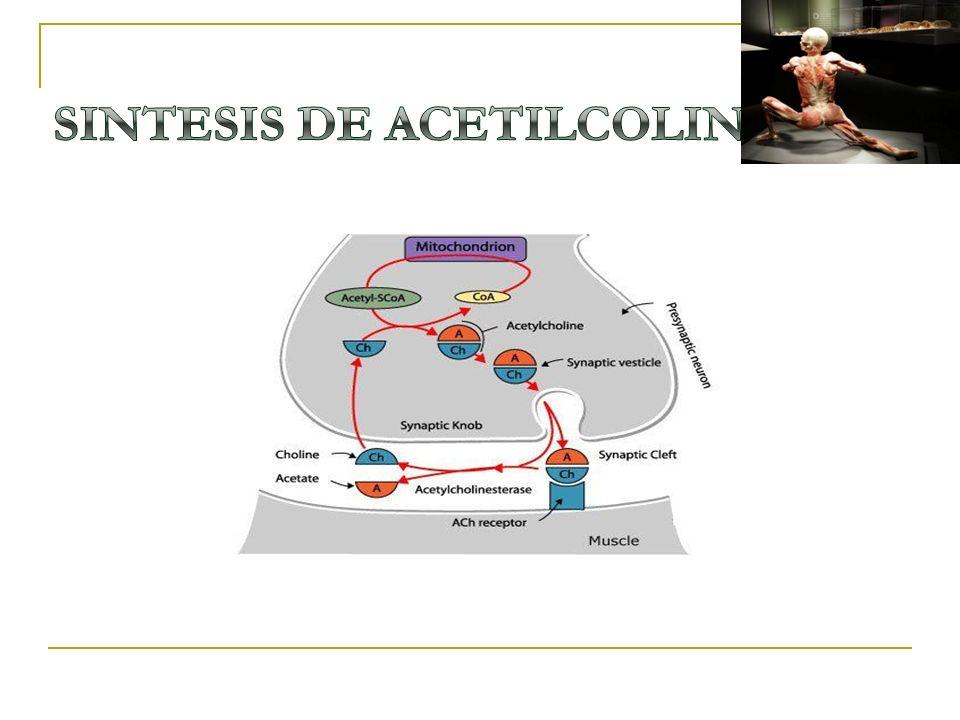 SINTESIS DE ACETILCOLINA