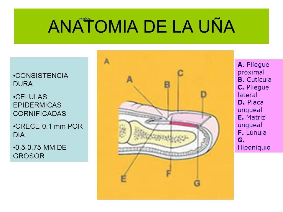 Encantador Anatomía De Una Uña Colección de Imágenes - Anatomía de ...