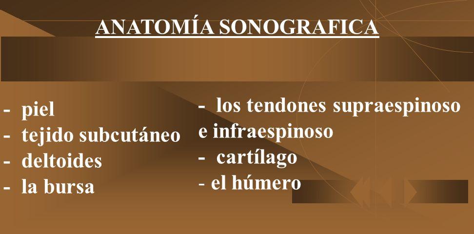 - los tendones supraespinoso e infraespinoso - cartílago - el húmero