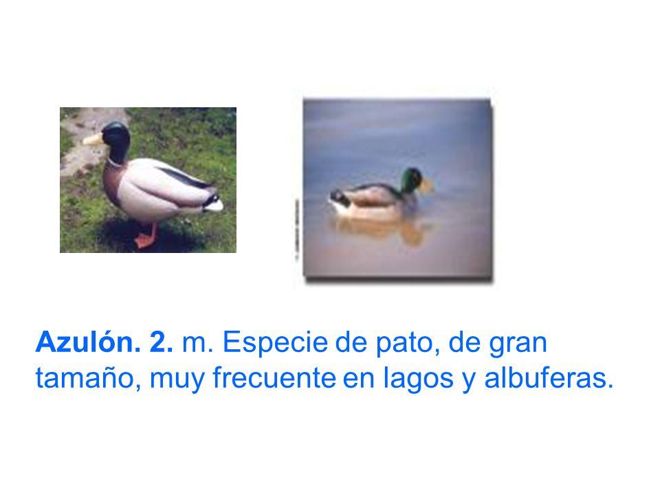 Azulón. 2. m. Especie de pato, de gran tamaño, muy frecuente en lagos y albuferas.