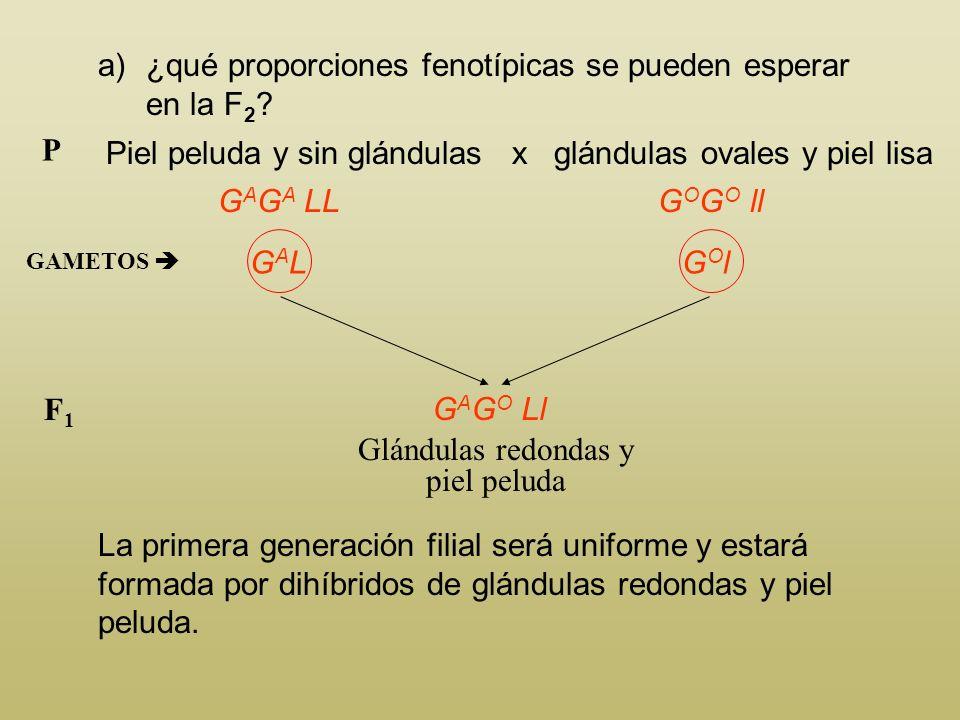 Glándulas redondas y piel peluda