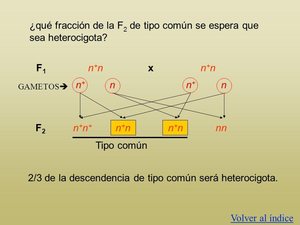 ¿qué fracción de la F2 de tipo común se espera que sea heterocigota