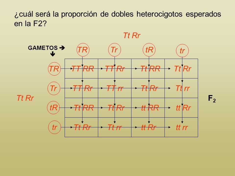 ¿cuál será la proporción de dobles heterocigotos esperados en la F2