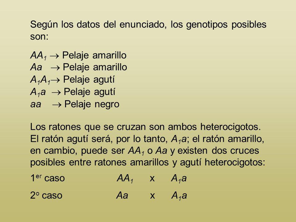 Según los datos del enunciado, los genotipos posibles son: