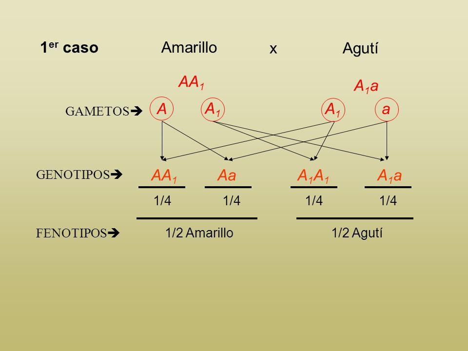 1er caso Amarillo Agutí x AA1 A1a A A1 A1 a AA1 Aa A1A1 A1a GAMETOS