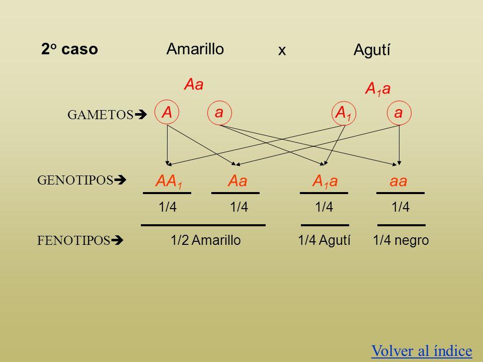 2o caso Amarillo Agutí x Aa A1a A a A1 a AA1 Aa A1a aa