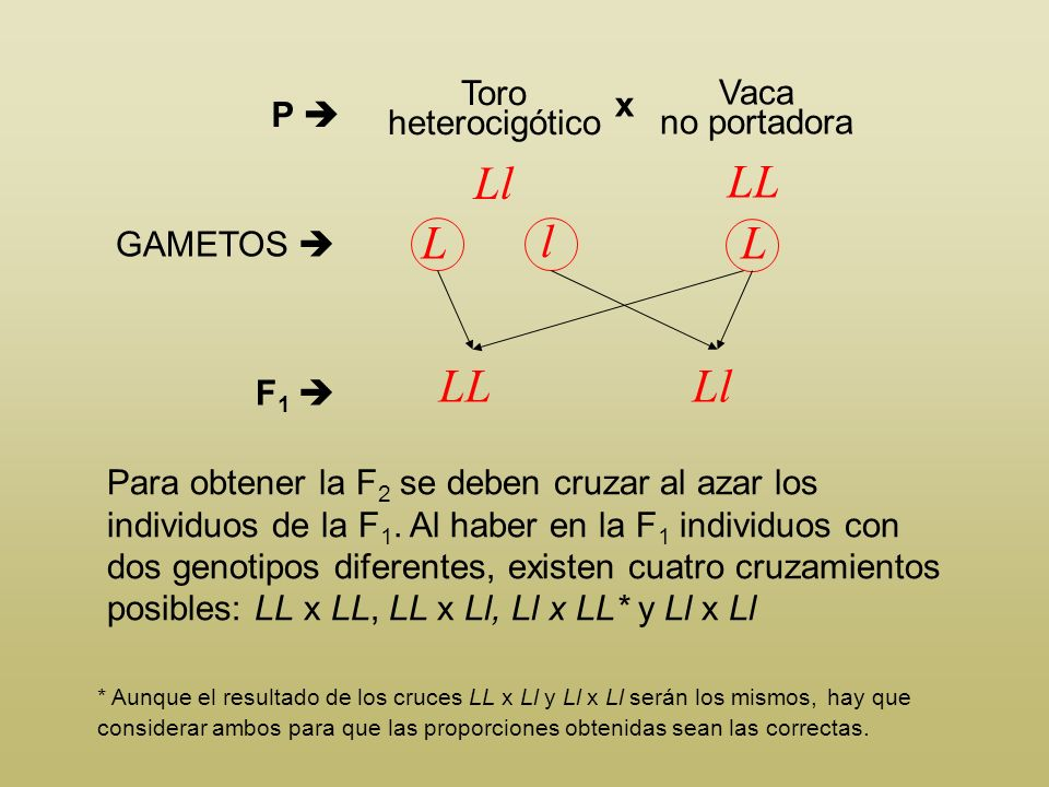 Ll LL L l L LL Ll Toro heterocigótico x Vaca no portadora P 