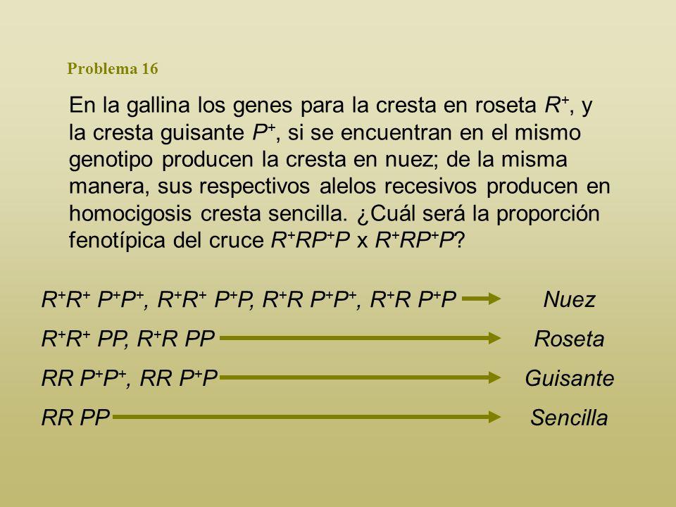 R+R+ P+P+, R+R+ P+P, R+R P+P+, R+R P+P Nuez