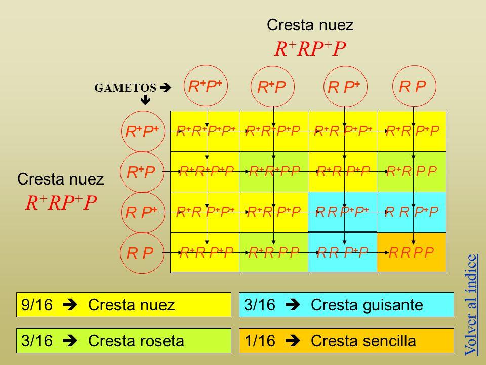 R+RP+P R+RP+P Cresta nuez R+P+ R+P R P+ R P R+P+ R+P Cresta nuez R P+