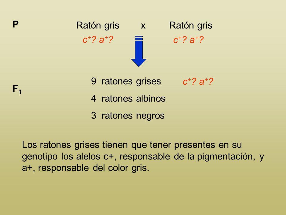 P Ratón gris x Ratón gris. c+ a+ c+ a+ 9 ratones grises. 4 ratones albinos.