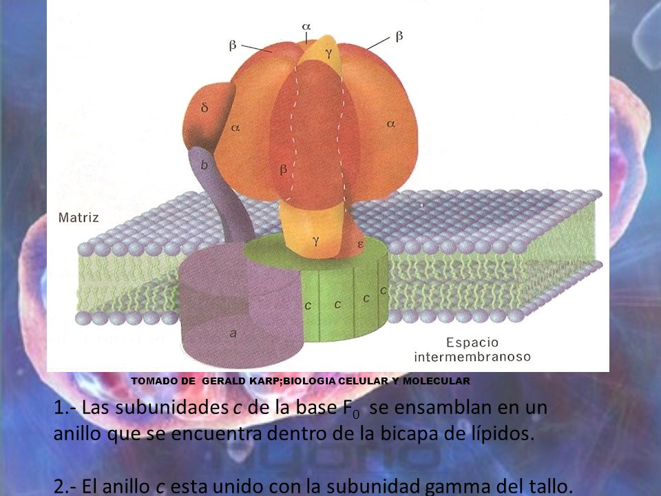 2.- El anillo c esta unido con la subunidad gamma del tallo.