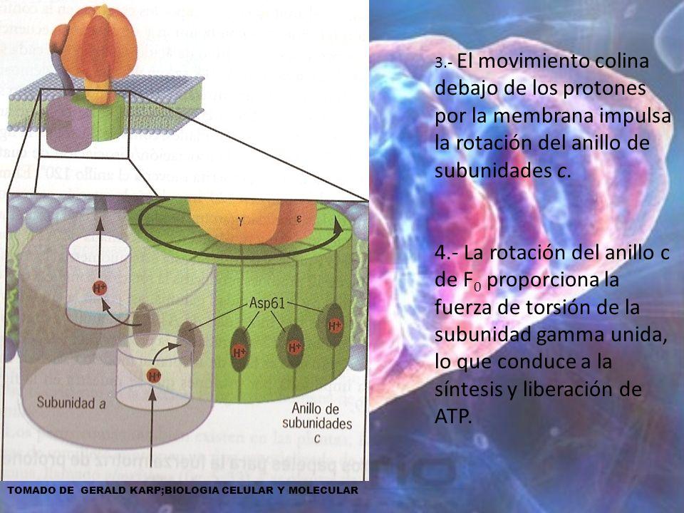 3.- El movimiento colina debajo de los protones por la membrana impulsa la rotación del anillo de subunidades c.